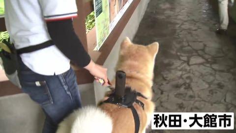 世界的ブーム!秋田犬の目線で観光案内_4.jpg
