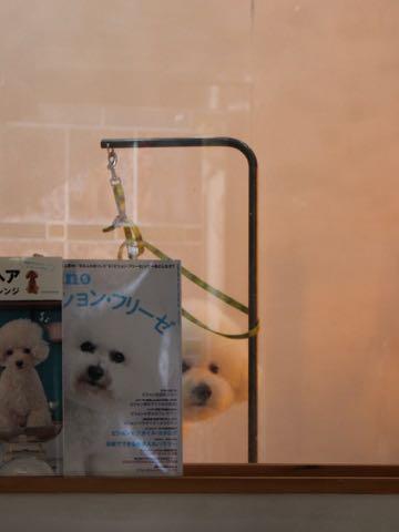 ビションフリーゼトリミング文京区フントヒュッテ駒込ビションフリーゼテディベアカット画像犬カットモデル都内ビショントリミングサロン東京hundehutte_230.jpg