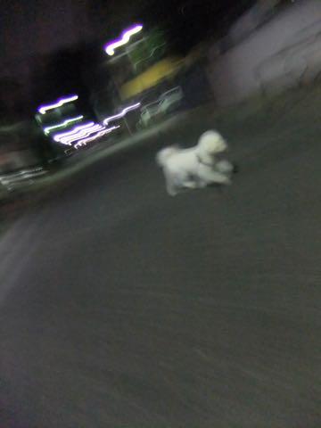 ビションフリーゼトリミング文京区フントヒュッテ駒込ビションフリーゼテディベアカット画像犬カットモデル都内ビショントリミングサロン東京hundehutte_234.jpg