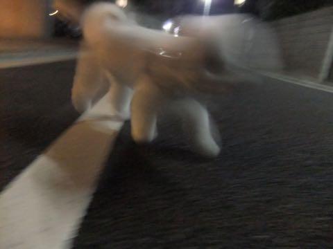 ビションフリーゼトリミング文京区フントヒュッテ駒込ビションフリーゼテディベアカット画像犬カットモデル都内ビショントリミングサロン東京hundehutte_238.jpg