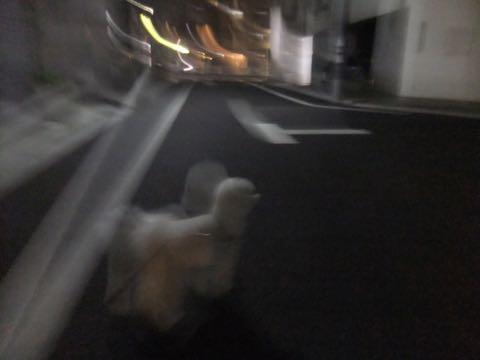 ビションフリーゼトリミング文京区フントヒュッテ駒込ビションフリーゼテディベアカット画像犬カットモデル都内ビショントリミングサロン東京hundehutte_239.jpg