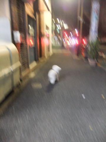 ビションフリーゼトリミング文京区フントヒュッテ駒込ビションフリーゼテディベアカット画像犬カットモデル都内ビショントリミングサロン東京hundehutte_240.jpg