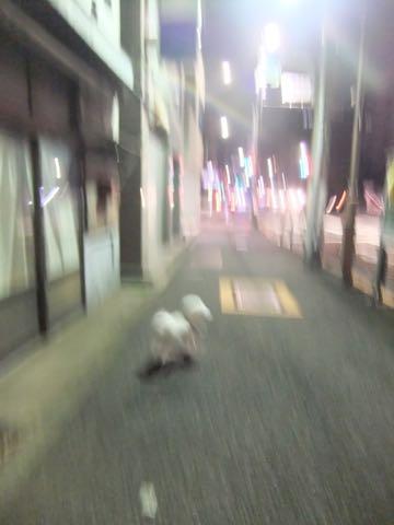 ビションフリーゼトリミング文京区フントヒュッテ駒込ビションフリーゼテディベアカット画像犬カットモデル都内ビショントリミングサロン東京hundehutte_242.jpg