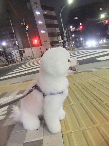 ビションフリーゼトリミング文京区フントヒュッテ駒込ビションフリーゼテディベアカット画像犬カットモデル都内ビショントリミングサロン東京hundehutte_244.jpg