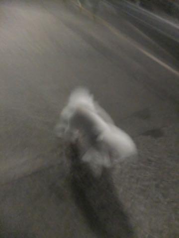 ビションフリーゼトリミング文京区フントヒュッテ駒込ビションフリーゼテディベアカット画像犬カットモデル都内ビショントリミングサロン東京hundehutte_250.jpg