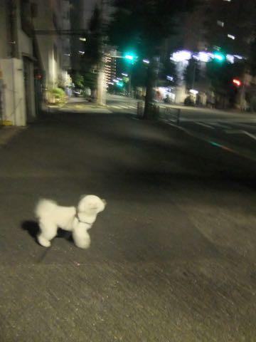 ビションフリーゼトリミング文京区フントヒュッテ駒込ビションフリーゼテディベアカット画像犬カットモデル都内ビショントリミングサロン東京hundehutte_251.jpg