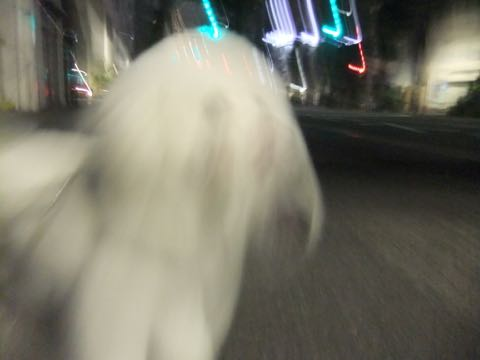 ビションフリーゼトリミング文京区フントヒュッテ駒込ビションフリーゼテディベアカット画像犬カットモデル都内ビショントリミングサロン東京hundehutte_254.jpg