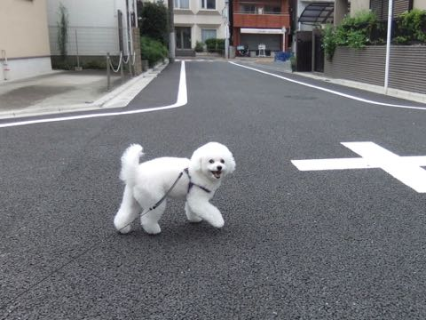ビションフリーゼトリミング文京区フントヒュッテ駒込ビションフリーゼテディベアカット画像犬カットモデル都内ビショントリミングサロン東京hundehutte_256.jpg