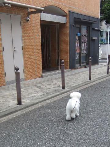 ビションフリーゼトリミング文京区フントヒュッテ駒込ビションフリーゼテディベアカット画像犬カットモデル都内ビショントリミングサロン東京hundehutte_261.jpg