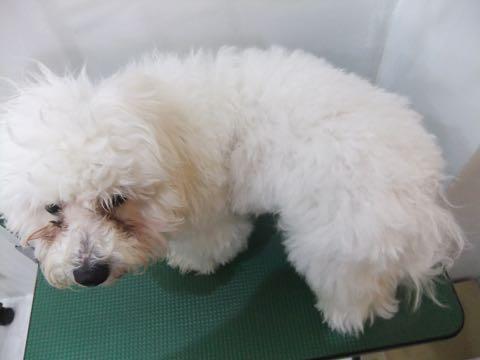 ビションフリーゼトリミングフントヒュッテビションカットスタイルモデル犬画像ビションフリーゼトリミングサロン東京ビションhundehutteビションベアカット_1.jpg