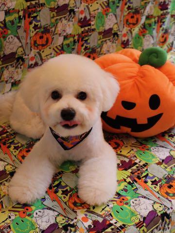 ビションフリーゼトリミングフントヒュッテビションカットスタイルモデル犬画像ビションフリーゼトリミングサロン東京ビションhundehutteビションベアカット_3.jpg