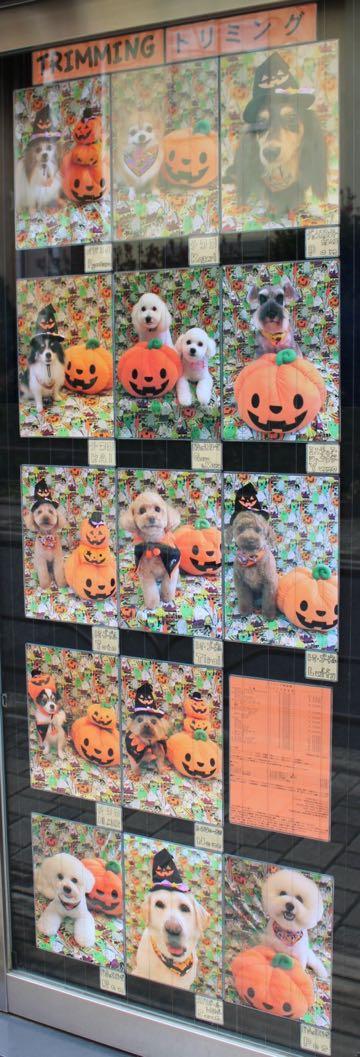 ビションフリーゼトリミングフントヒュッテビションカットスタイルモデル犬画像ビションフリーゼトリミングサロン東京ビションhundehutteビションベアカット_5.jpg
