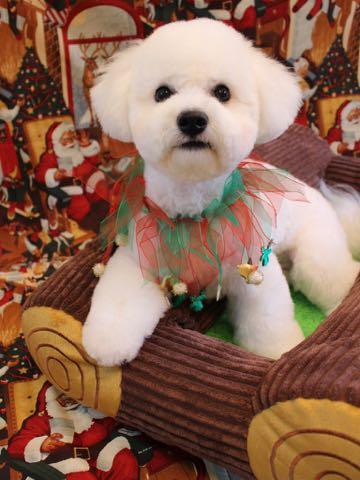 ビションフリーゼトリミングフントヒュッテビションカットスタイルモデル犬画像ビションフリーゼトリミングサロン東京ビションhundehutteビションベアカット_6.jpg