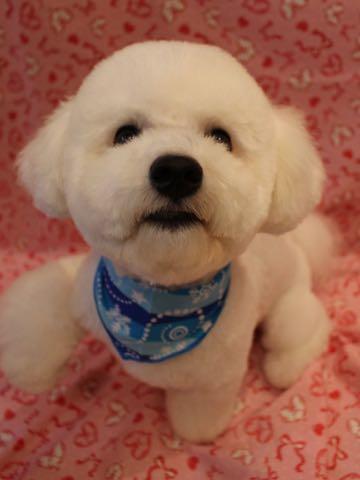 ビションフリーゼトリミングフントヒュッテビションカットスタイルモデル犬画像ビションフリーゼトリミングサロン東京ビションhundehutteビションベアカット_7.jpg