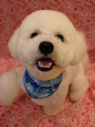 ビションフリーゼトリミングフントヒュッテビションカットスタイルモデル犬画像ビションフリーゼトリミングサロン東京ビションhundehutteビションベアカット_8.jpg