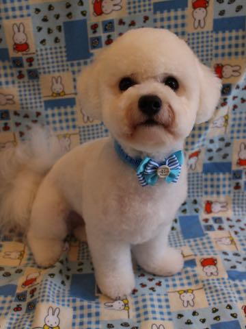 ビションフリーゼトリミングフントヒュッテビションカットスタイルモデル犬画像ビションフリーゼトリミングサロン東京ビションhundehutteビションベアカット_11.jpg