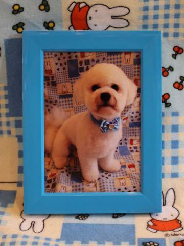 ビションフリーゼトリミングフントヒュッテビションカットスタイルモデル犬画像ビションフリーゼトリミングサロン東京ビションhundehutteビションベアカット_12.jpg