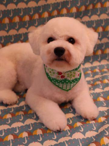 ビションフリーゼトリミングフントヒュッテビションカットスタイルモデル犬画像ビションフリーゼトリミングサロン東京ビションhundehutteビションベアカット_17.jpg