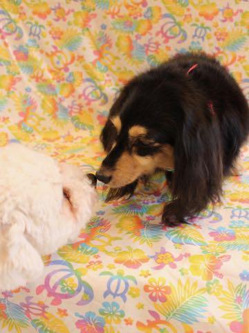 ビションフリーゼトリミングフントヒュッテビションカットスタイルモデル犬画像ビションフリーゼトリミングサロン東京ビションhundehutteビションベアカット_18.jpg