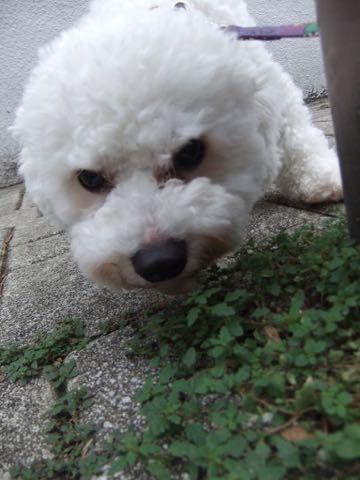 ビションフリーゼトリミングフントヒュッテビションカットスタイルモデル犬画像ビションフリーゼトリミングサロン東京ビションhundehutteビションベアカット_21.jpg
