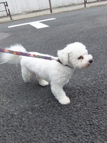 ビションフリーゼトリミングフントヒュッテビションカットスタイルモデル犬画像ビションフリーゼトリミングサロン東京ビションhundehutteビションベアカット_22.jpg