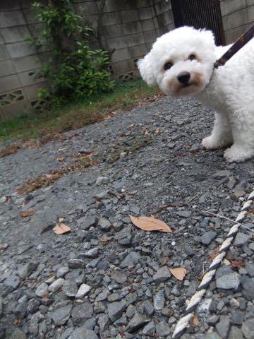 ビションフリーゼトリミングフントヒュッテビションカットスタイルモデル犬画像ビションフリーゼトリミングサロン東京ビションhundehutteビションベアカット_23.jpg