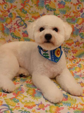ビションフリーゼトリミングフントヒュッテビションカットスタイルモデル犬画像ビションフリーゼトリミングサロン東京ビションhundehutteビションベアカット_24.jpg