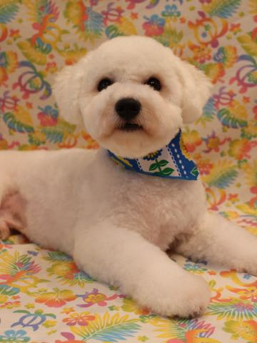 ビションフリーゼトリミングフントヒュッテビションカットスタイルモデル犬画像ビションフリーゼトリミングサロン東京ビションhundehutteビションベアカット_31.jpg