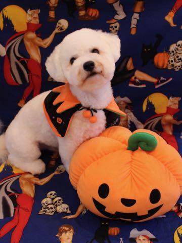 ビションフリーゼトリミングフントヒュッテビションカットスタイルモデル犬画像ビションフリーゼトリミングサロン東京ビションhundehutteビションベアカット_33.jpg