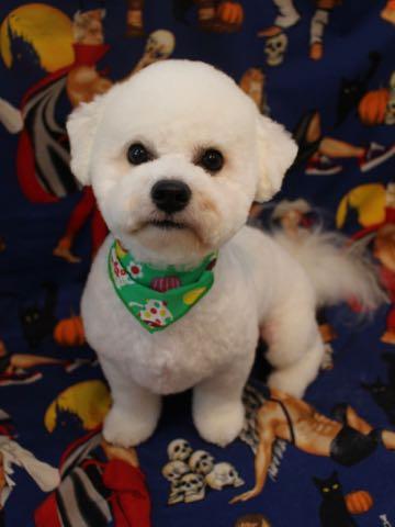 ビションフリーゼトリミングフントヒュッテビションカットスタイルモデル犬画像ビションフリーゼトリミングサロン東京ビションhundehutteビションベアカット_35.jpg