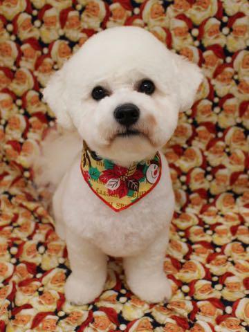 ビションフリーゼトリミングフントヒュッテビションカットスタイルモデル犬画像ビションフリーゼトリミングサロン東京ビションhundehutteビションベアカット_36.jpg