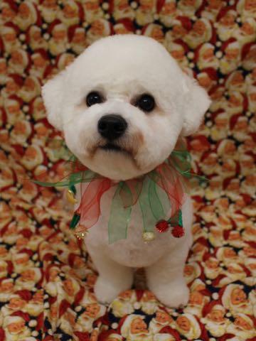 ビションフリーゼトリミングフントヒュッテビションカットスタイルモデル犬画像ビションフリーゼトリミングサロン東京ビションhundehutteビションベアカット_37.jpg