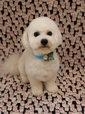 ビションフリーゼトリミングフントヒュッテビションカットスタイルモデル犬画像ビションフリーゼトリミングサロン東京ビションhundehutteビションベアカット_38.jpg