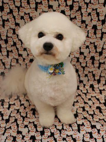 ビションフリーゼトリミングフントヒュッテビションカットスタイルモデル犬画像ビションフリーゼトリミングサロン東京ビションhundehutteビションベアカット_39.jpg