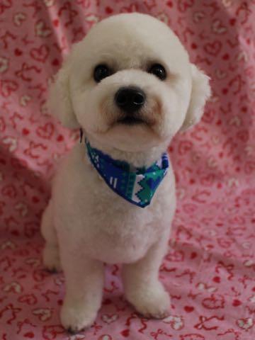 ビションフリーゼトリミングフントヒュッテビションカットスタイルモデル犬画像ビションフリーゼトリミングサロン東京ビションhundehutteビションベアカット_40.jpg