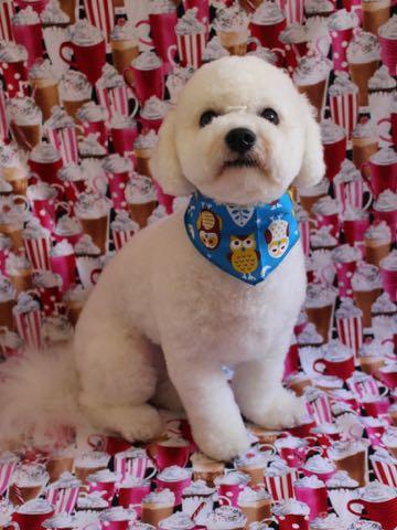 ビションフリーゼトリミングフントヒュッテビションカットスタイルモデル犬画像ビションフリーゼトリミングサロン東京ビションhundehutteビションベアカット_42.jpg
