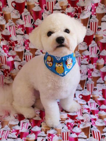 ビションフリーゼトリミングフントヒュッテビションカットスタイルモデル犬画像ビションフリーゼトリミングサロン東京ビションhundehutteビションベアカット_43.jpg