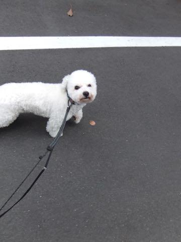 ビションフリーゼトリミングフントヒュッテビションカットスタイルモデル犬画像ビションフリーゼトリミングサロン東京ビションhundehutteビションベアカット_45.jpg
