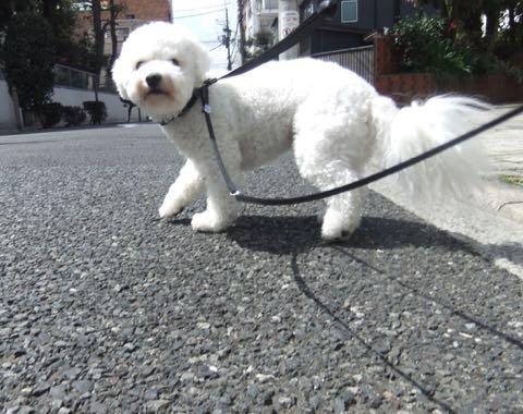 ビションフリーゼトリミングフントヒュッテビションカットスタイルモデル犬画像ビションフリーゼトリミングサロン東京ビションhundehutteビションベアカット_47.jpg