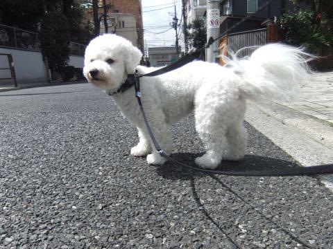 ビションフリーゼトリミングフントヒュッテビションカットスタイルモデル犬画像ビションフリーゼトリミングサロン東京ビションhundehutteビションベアカット_48.jpg