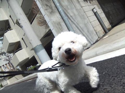 ビションフリーゼトリミングフントヒュッテビションカットスタイルモデル犬画像ビションフリーゼトリミングサロン東京ビションhundehutteビションベアカット_50.jpg