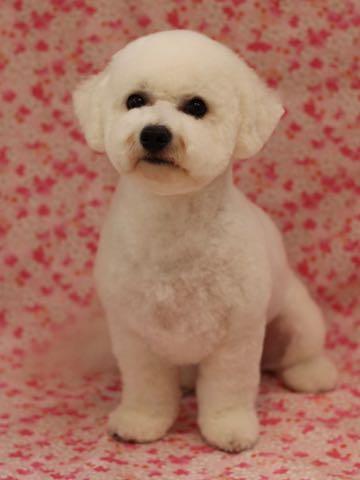 ビションフリーゼトリミングフントヒュッテビションカットスタイルモデル犬画像ビションフリーゼトリミングサロン東京ビションhundehutteビションベアカット_51.jpg