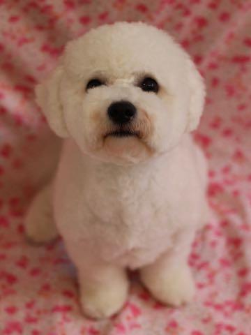 ビションフリーゼトリミングフントヒュッテビションカットスタイルモデル犬画像ビションフリーゼトリミングサロン東京ビションhundehutteビションベアカット_54.jpg