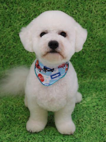 ビションフリーゼトリミングフントヒュッテビションカットスタイルモデル犬画像ビションフリーゼトリミングサロン東京ビションhundehutteビションベアカット_55.jpg