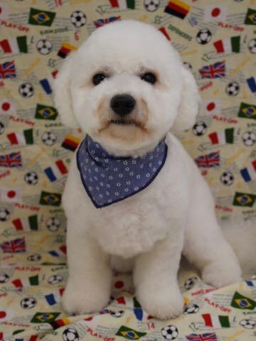 ビションフリーゼトリミングフントヒュッテビションカットスタイルモデル犬画像ビションフリーゼトリミングサロン東京ビションhundehutteビションベアカット_56.jpg
