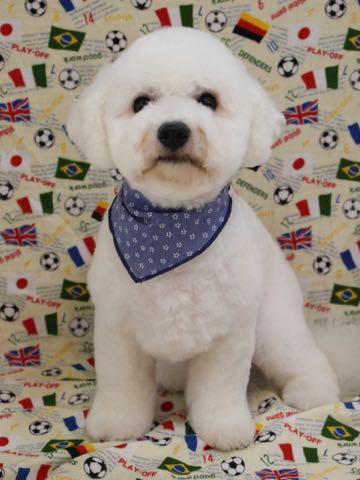ビションフリーゼトリミングフントヒュッテビションカットスタイルモデル犬画像ビションフリーゼトリミングサロン東京ビションhundehutteビションベアカット_57.jpg