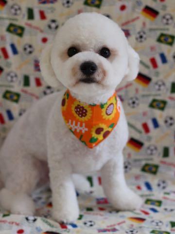ビションフリーゼトリミングフントヒュッテビションカットスタイルモデル犬画像ビションフリーゼトリミングサロン東京ビションhundehutteビションベアカット_58.jpg