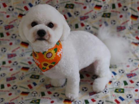 ビションフリーゼトリミングフントヒュッテビションカットスタイルモデル犬画像ビションフリーゼトリミングサロン東京ビションhundehutteビションベアカット_59.jpg