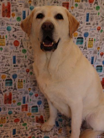 ラブラドール・レトリバートリミング文京区フントヒュッテ駒込大型犬トリミング東京かわいいラブラドールレトリバー画像大型犬トリミングサロン都内hundehutte_62.jpg