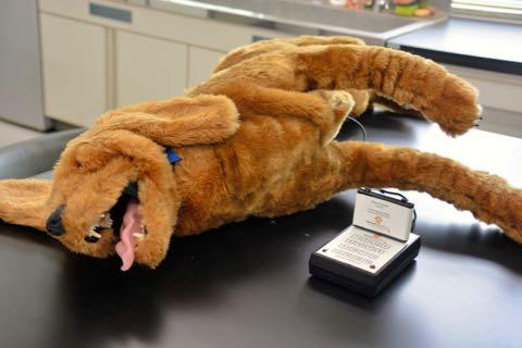 動物のお医者さん、模型で実習 山口大など生体から転換.jpg